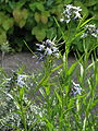 Amsonia hubrichtii hybrid (18347044959).jpg