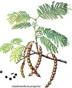 definition of anadenanthera