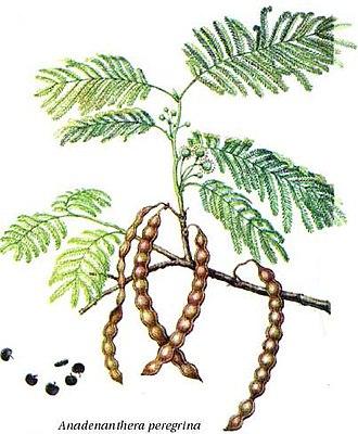 Flora of Colombia - Yopo tree (Anadenanthera peregrina)