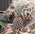Ananas comosus fruit.jpg