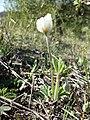 Anemone sylvestris sl38.jpg