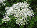 Angelica polymorpha 2.JPG