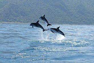 Dusky dolphin - Dusky dolphins leaping off Kaikoura