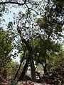 Annona reticulata (2407590538).jpg