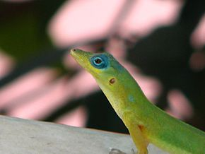 Description de l'image Anolis trinitatis 2.jpg.