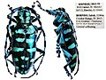 Anoplophora graafi (Ritsema, 1880) Cerambycidae Specimen from Borneo (8972095919).jpg