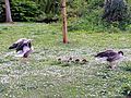 Anser anser with goslings - Orpington - 13.jpg