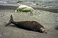 Antarctic, Elephant seal (js) 51.jpg