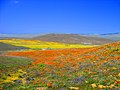 Antelope Valley Poppy Preserve.jpg