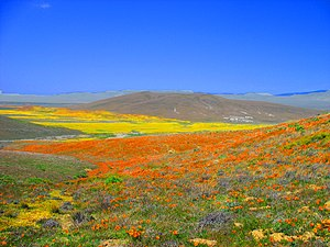 Wild flowers light up the Antelope Valley