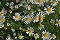 Anthemis cotula inflorescence (10).jpg