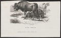Antilope gnu - 1872 - Print - Iconographia Zoologica - Special Collections University of Amsterdam - UBA01 IZ21400289.tif