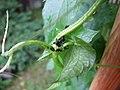 Aphidoidea - 001.JPG