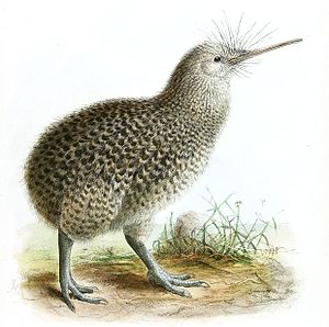 Little spotted kiwi - Illustration by G.D. Rowley
