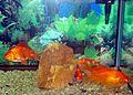 Aquarium fish10.JPG