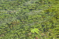 Aquatic freshwater plant in Gökçeli 01.jpg
