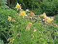 Aquilegia caerulea1.jpg