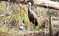 Aramus guarauna (Limpkin) 61.jpg