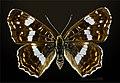 Araschnia levana MHNT CUT 2013 3 15 Forme estivale Compiegne Dos.jpg