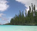 Araucaria columnaris New Caledonia 1.jpg