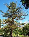 Araucaria heterophilla (SRBG).jpg