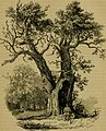Arboretum et fruticetum Britannicum; or, The trees and shrubs of Britain, native and foreign, hardy and half-hardy, pictorially and botanically delineated, and scientifically and popularly described; (14587049370).jpg