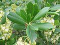 Arbutus unedo hojas.jpg