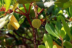 Follas e froito do érbedo