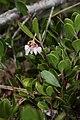 Arctostaphylos nevadensis 4614.JPG
