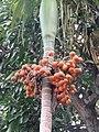 Areca catechu - Areca nut at Mayyil.jpg