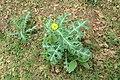 Argemone mexicana - Mexican Prickly Poppy - at Beechanahalli 2014 (10).jpg