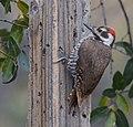 Arizona Woodpecker (33935490126).jpg