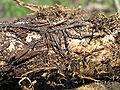 http://upload.wikimedia.org/wikipedia/commons/thumb/5/5b/Armillariella_mellea_rhizomorph_bialowieza_forest_2_beentree.jpg/120px-Armillariella_mellea_rhizomorph_bialowieza_forest_2_beentree.jpg