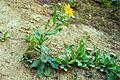 Arnica amplexicaulis2.jpg