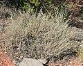 Artemisia bigelovii 1.jpg