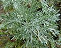 Artemisia caerulescens.jpg