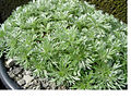 Artemisia schmidtiana 1nana.JPG