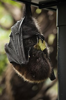 Artis Rodrigues flying fox (fruit bat) - Artis Royal Zoo (10053655366).jpg