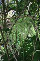 Aruncus dioicus (27414683801).jpg