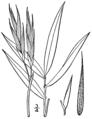 Arundinaria tecta BB-1913.png
