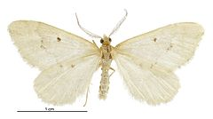 240px asaphodes oraria male