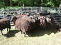 Ashdown Forest Hebridean flock.jpg