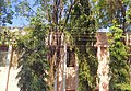 Ashoka trees.jpg