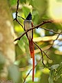 Asian paradise flycatcher (23182996621).jpg