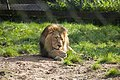 Asiatic Lion at Chester Zoo.jpg