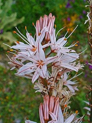 Asphodelus ramosus - Asphodelus ramosus