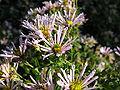 Aster ageratoides subsp tubulosus1.jpg