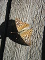 Asterocampa celtis on fence.jpg