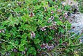 Astragalus ochotensis 115391568.jpg