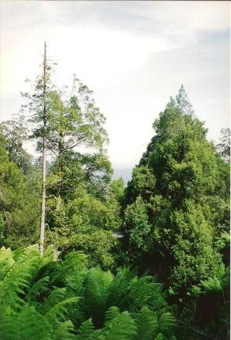 Atherosperma - Atherosperma - near Orbost, Victoria